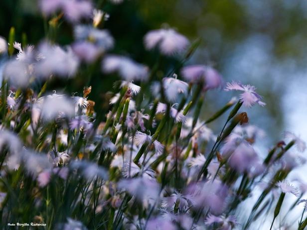 macro_20140618_miniflowers