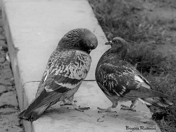 bw_20150411_doves