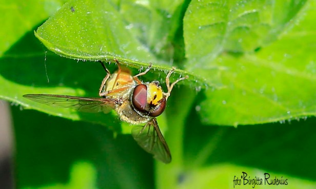 nature_20150630_blomfluga